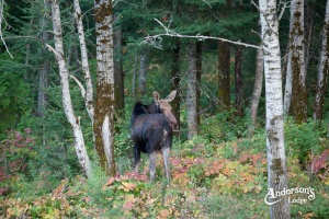 moose in woods at Andersons Lodge