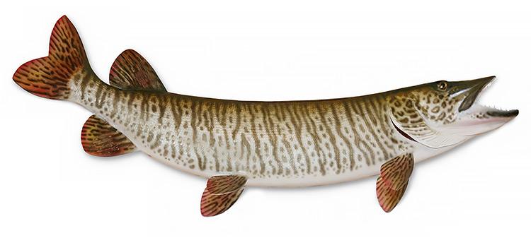 Ontario Muskie Fishing